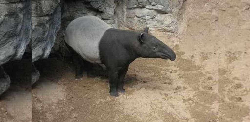 haiwan tapir