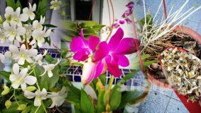 Tip mudah untuk Orkid subur dan berbunga lebat hanya guna kepala ikan bilis