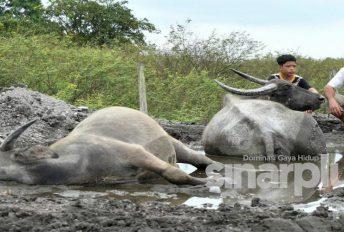Syukor sedih nampak anak kerbau menyusu dari ibunya yang sudah mati