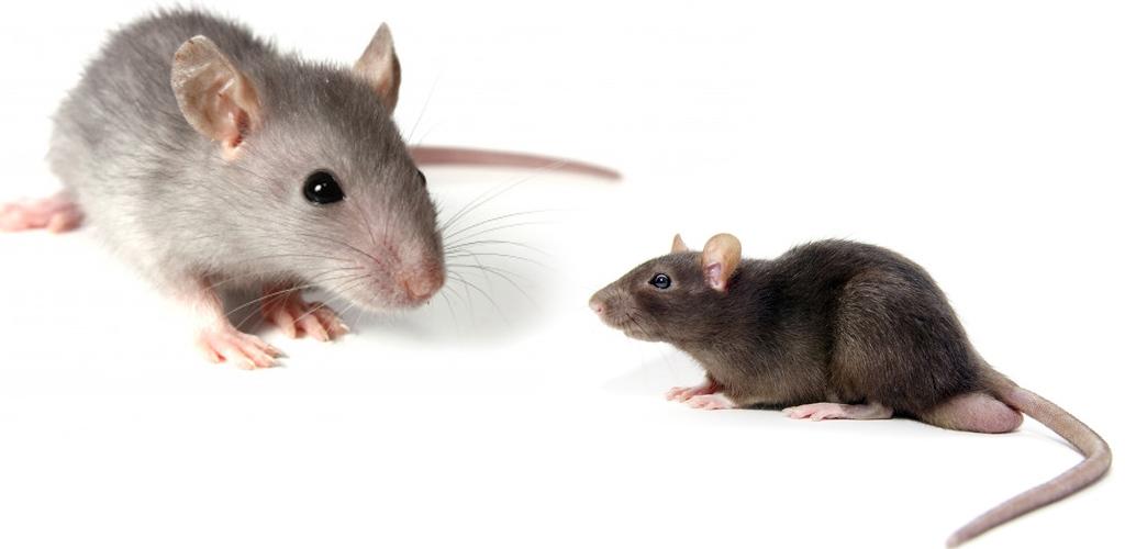 8 cara halau tikus di rumah, nombor 3 tu mesti sekali kena tak datang dah