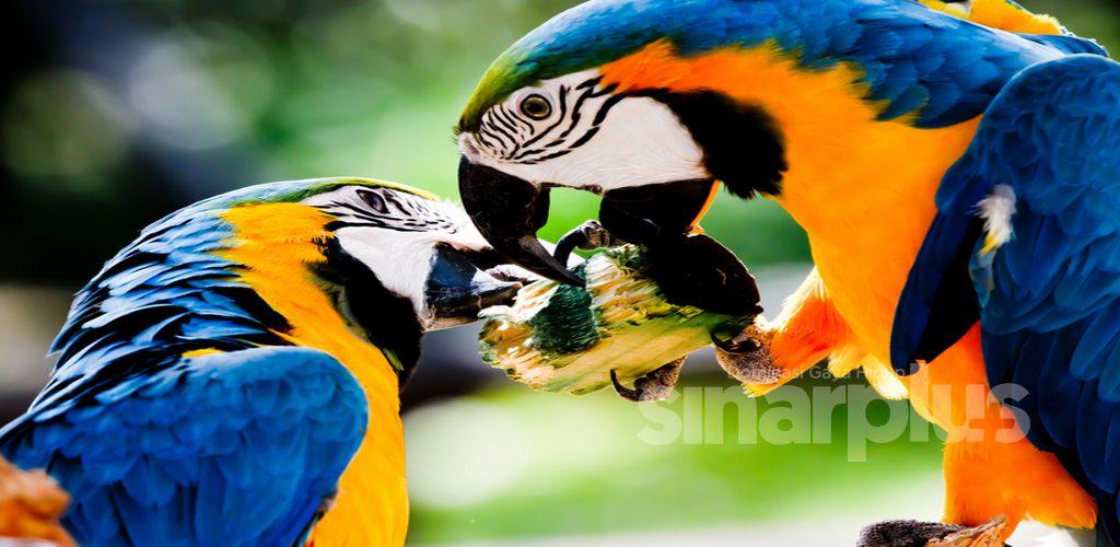 Sakan mencarut sesama sendiri, lima ekor burung kakak tua terpaksa dikuarantinkan