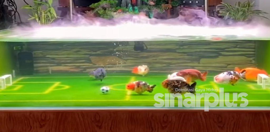 [VIDEO] Serius comel! ikan emas pun pandai main bola, siap buat jaringan gol