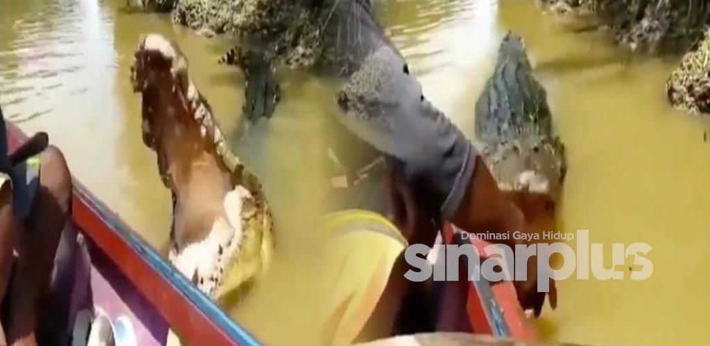 [VIDEO] Lelaki suap buaya liar makan guna tangan, macam bagi kucing makan jer lagaknya