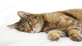 Kucing diserang sawan, ini apa perlu kita tahu