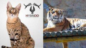 Order online kucing Savannah, yang diterima anak harimau