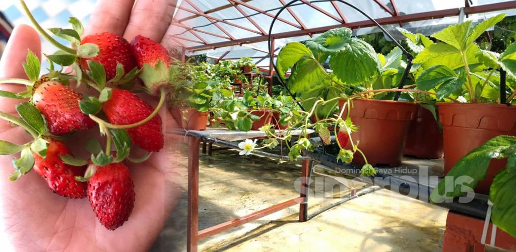 Bestnya, Ustaz buat kebun strawberi sepanjang PKP sampai jadi, dah macam Cameron Highlands