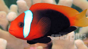 Covid-19 : Ini punca Nemo si ikan laut giat membiak dan bertelur dalam akuarium
