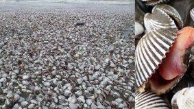 Tular foto longgokan kerang di pantai rupanya di Mesir