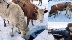 Patutlah lembu pun dipakaikan bra, Oymyakon desa paling sejuk di dunia