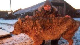 Petani cekik serigala sampai mati, aksi dirakam CCTV
