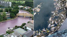 Perairan Sentosa Cove Singapura berubah jadi merah jambu dan berbau busuk