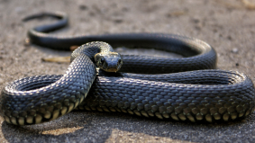 [VIDEO] Halau ular macam marah anak kucing, gelagat pemuda ini buat warganet terkesima