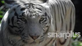 Harimau putih terlepas kurungan, baham penjaganya