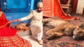 Bius anak singa untuk foto perkahwinan, pasangan pengantin teruk dikecam