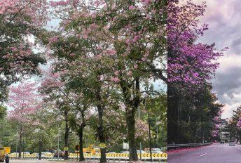 'Musim Sakura' di Gombak bagai di Jepun, Korea Selatan