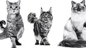 Kucing dimandulkan cenderung lebih sihat dan hidup lama, ini tip penjagaan selepas bedah