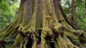 Bangganya! Pokok cengal terbesar dunia ada di Terengganu, sama tinggi bangunan 20 tingkat