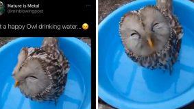 Burung hantu tersenyum ketika 'minum' air, serius comel