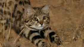 Black-Footed Cat, kucing kecil berbahaya. Memburu lebih daripada harimau bintang!