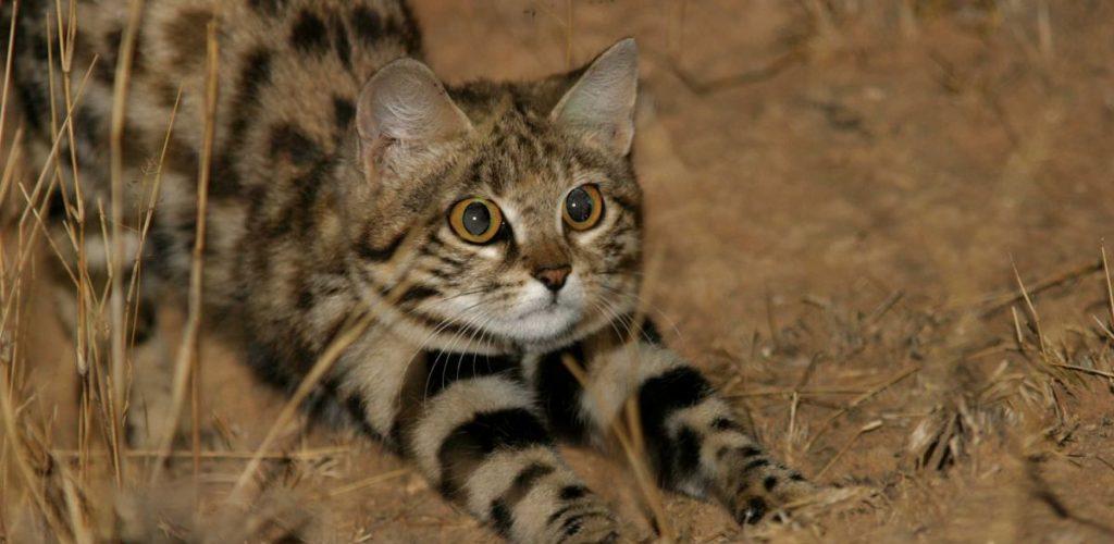 Black Footed Cat, kucing kecil berbahaya. Memburu lebih daripada harimau bintang!