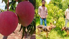 4 pengawal, 9 ekor anjing dikerah jaga kebun mangga Miyazaki, termahal di dunia