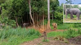 Sakit dan tertekan emosi punca gajah naik minyak sampai pijak penjaga