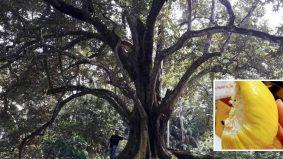 Pokok durian gergasi 62 tahun di Taiping, tarik perhatian netizen
