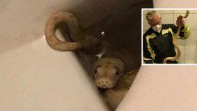 Kemaluan warga emas, digigit ular sawa jiran, ketika guna tandas