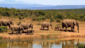 Padah cari pasal, pemburu tanduk badak, mati dipijak gajah