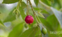 6 khasiat hebat daun pokok ceri kampung, tak sangka boleh rawat banyak penyakit kronik