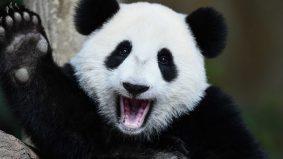 Panda bukan lagi spesies terancam, populasi terkini melebihi 18,000
