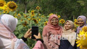 Pencinta bunga matahari tak perlu pergi negara jiran, ladang di Perlis tak kurang hebatnya