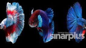 Ikan laga liar cecah ribuan ringgit gara-gara pertandingan online
