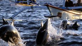 Ikan lumba-lumba muncul di Port Dickson curi tumpuan ramai