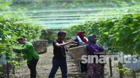 Orang Asli suku Temuan baru berusia 22 tahun mampu miliki kebun sayur dan gaji enam pekerja