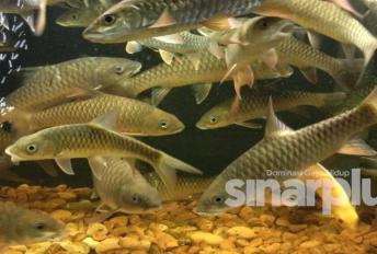 Ikan kelah mampu mampu rawat kulit bagi pesakit kencing manis