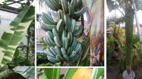 Subhanallah... cantiknya pisang! Orang muda pun teruja