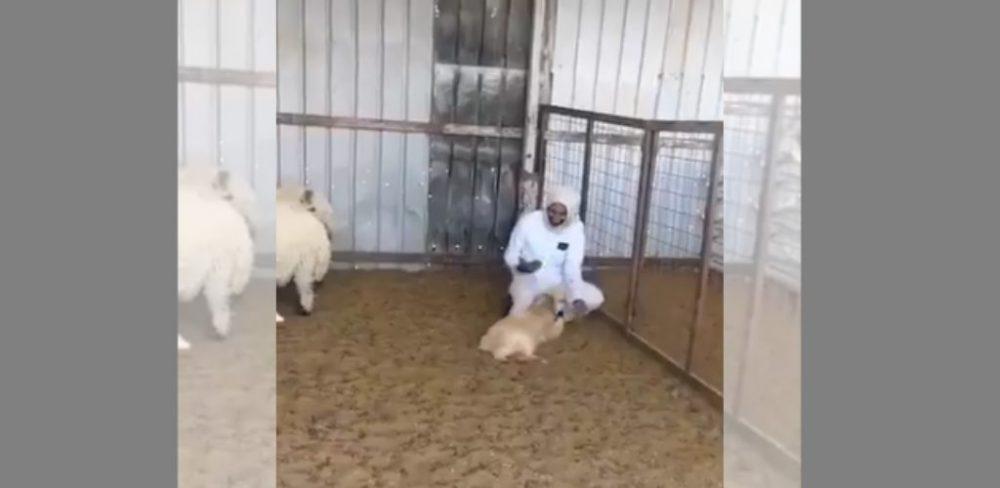 kambing lucu