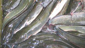 Cara hilangkan hanyir dan lendir ikan keli paling berkesan