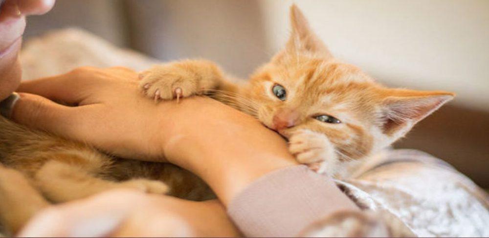 Cat Scratch Fever mampu membawa maut! Pencinta kucing, ini apa korang perlu tahu
