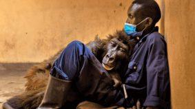 Gorila pernah viral kerana swafoto, mati dalam pelukan penjaga